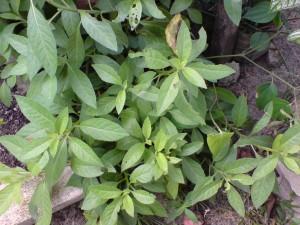 Azie's Sambung Nyawa Plant